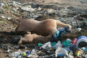 Camel dead from plastic consumption