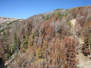 Dying forests in the Northern Rockies  NRDC