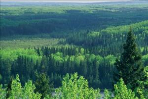 Pristine Alberta boreal forest  National Geographic