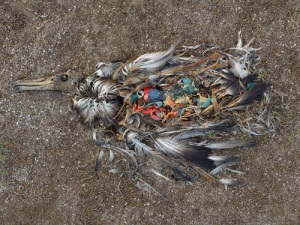 A seabird with a stomach full of plastic waste Photographer Chris Jordan