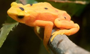 The Panamanian golden frog has been pushed close to extinction by fungal disease.