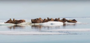 Walruses are finding less and less sea ice. Image by the U.S. Geological Survey.