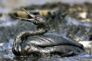 Bird in Oil Spill Source Greenpeace