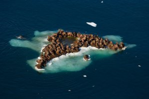 Walruses in the Chukchi Sea