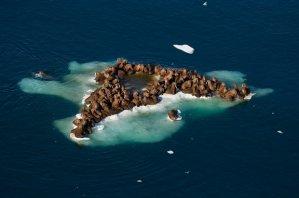 Walruses in the Chukchi Sea