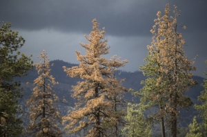Dying Trees Source The Guardian