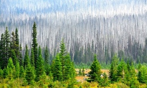 Pines killed by pine beetles in British Columbia, Canada.  Photo by Udo Weitz, Getty Images.